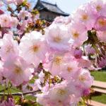 満開の春_7849