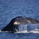 マッコウクジラ尻尾01