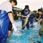 鮭の掴み取り (1)
